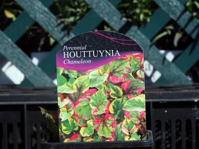 Houttuynia Chameleon