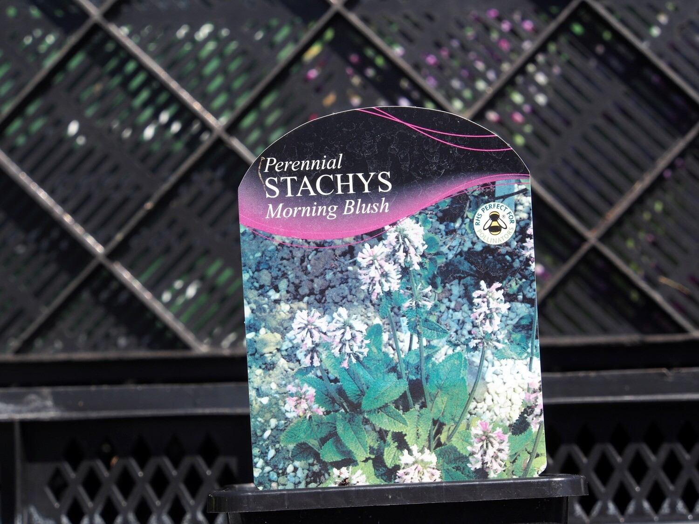 Stachys Morning Blush