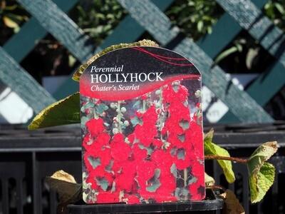 Hollyhock Chaters Scarlet (Alcea)