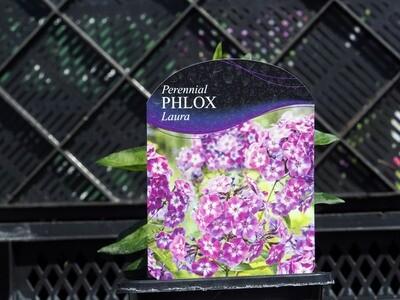 Phlox Laura