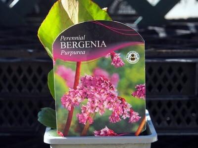 Bergenia Purpurea