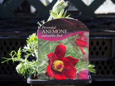 Anemone Pulsatilla Red