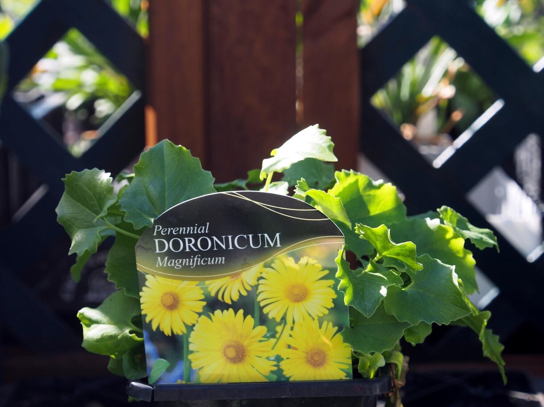 Doronicum Magnificum