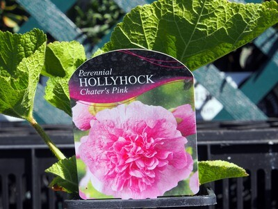 Hollyhock Chaters Pink (Alcea)