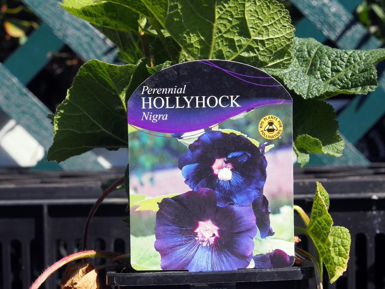 Hollyhock Nigra