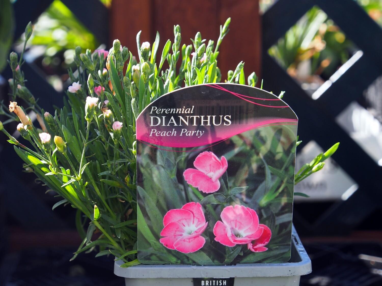 Dianthus Peach Party