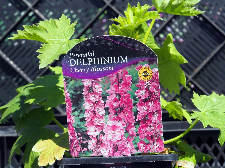 Delphinium M/Fountain Cherry Blossom