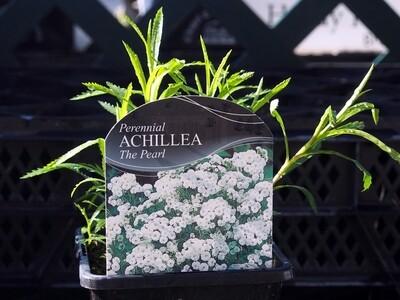 Achillea The Pearl