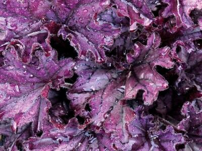 Heuchera Forever Purple