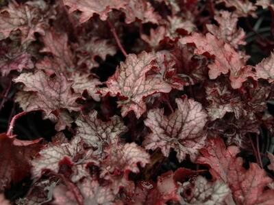 Heuchera Blackberry Crisp