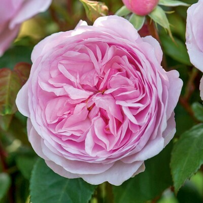 Rose Olivia Rose Austin