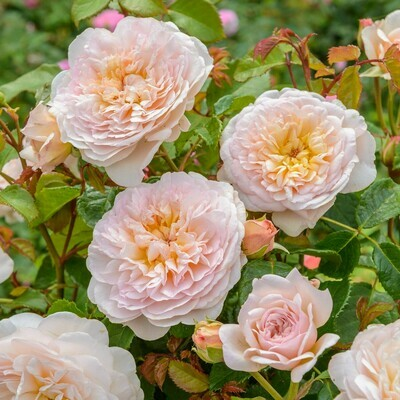Rose Emily Bronte