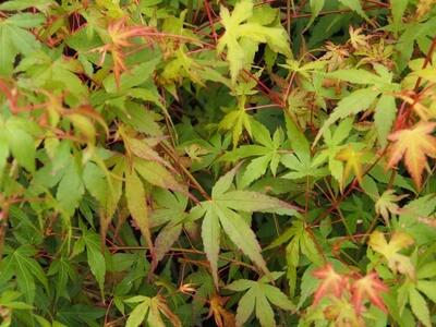 Acer palm Katsura
