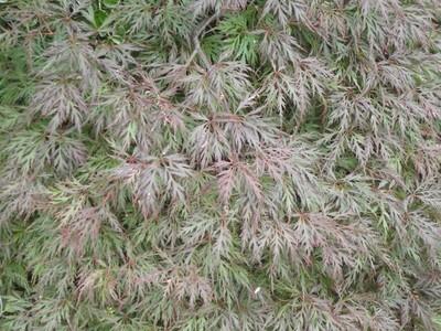 Acer palm Orangeola