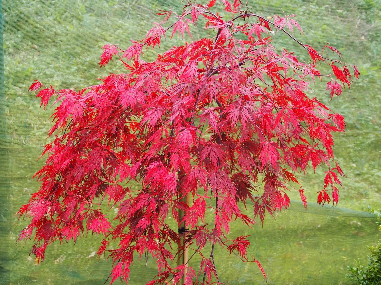 Acer palm Atropurpureum