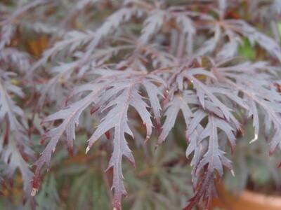 Acer palm Crimson Queen