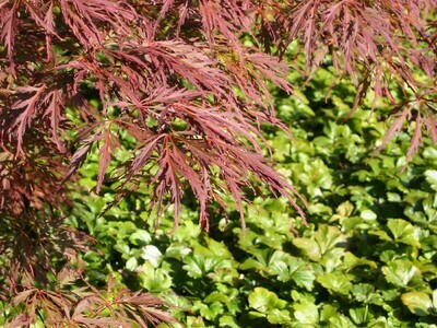 Acer palm Garnet