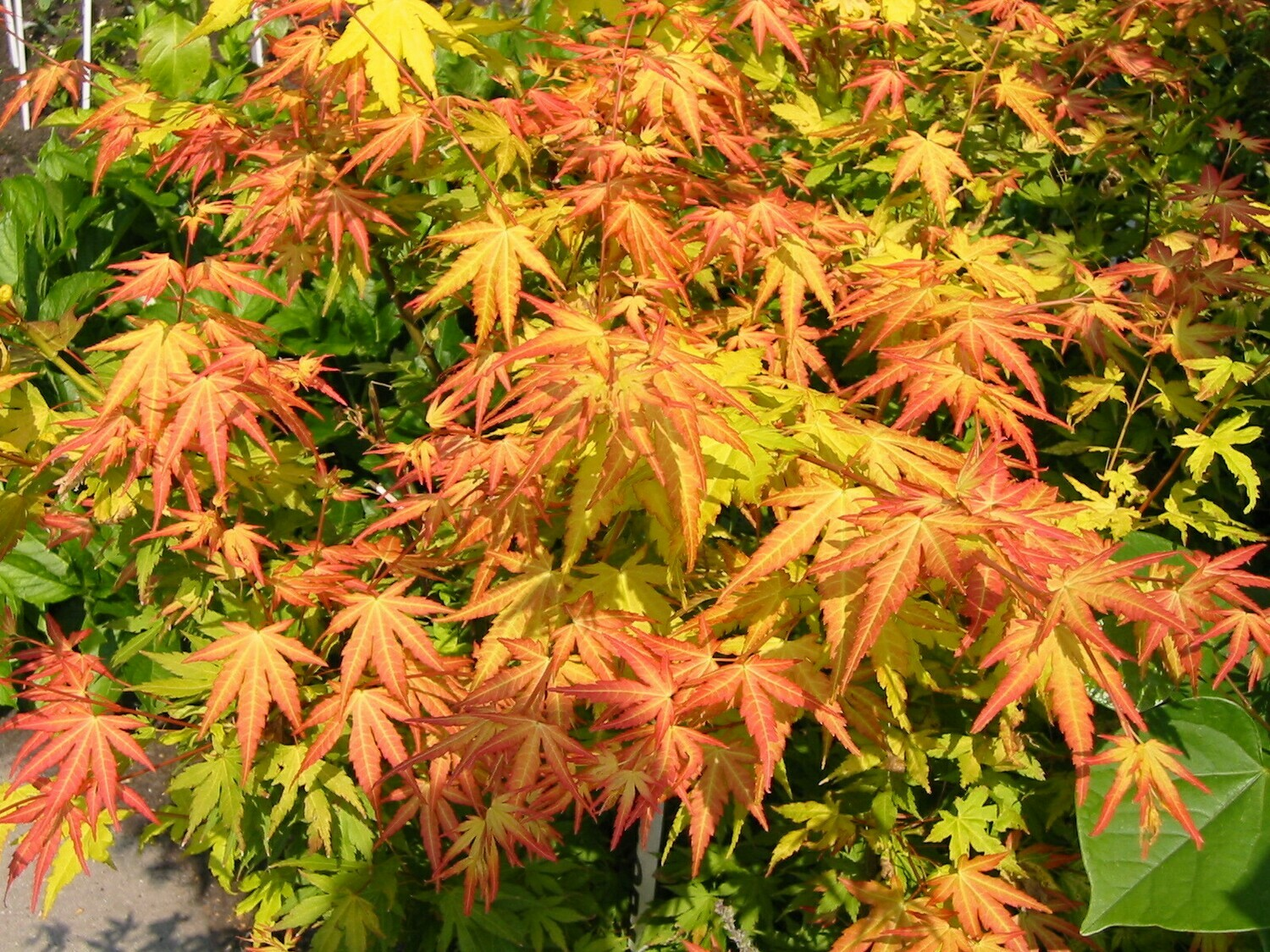 Acer palm Orange Dream