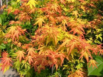 Acer palm Orange Dream