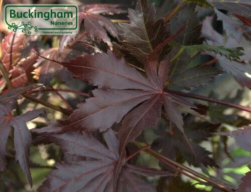 Acer palm Trompenburgh