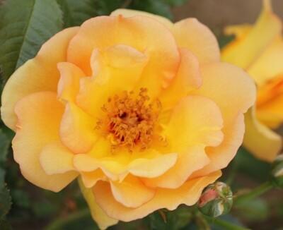 Rose Maigold