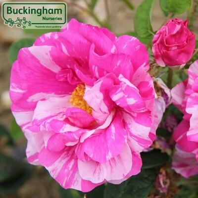 Rose gallica Versicolor