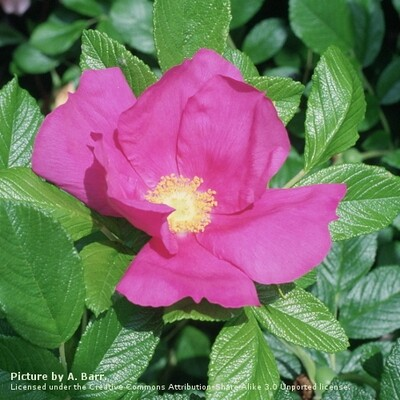 Rose Scabrosa