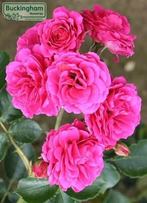 Rose Starlight Express