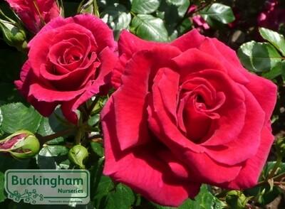 Rose Love Struck