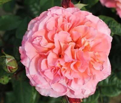 Rose Rachel