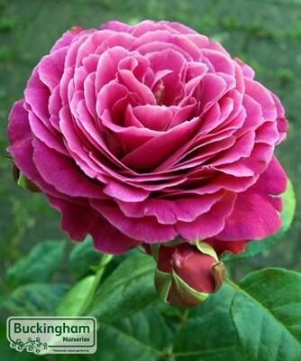 Rose Naomi