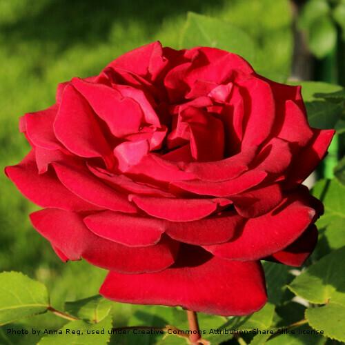 Rose Royal William