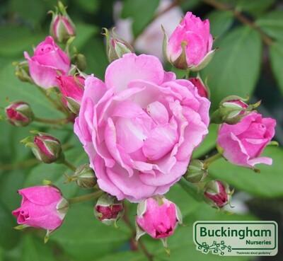 Rose Lilac Bouquet