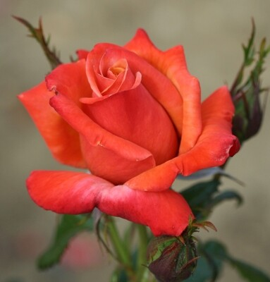 Rose Remember Me