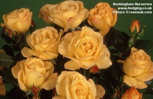 Rose Arthur Bell Floribunda