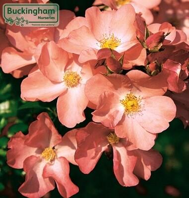 Rose Flower Carpet Coral