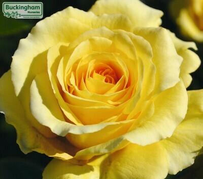 Rose Sommergold