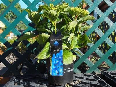 Hydrangea Royalty Mixed