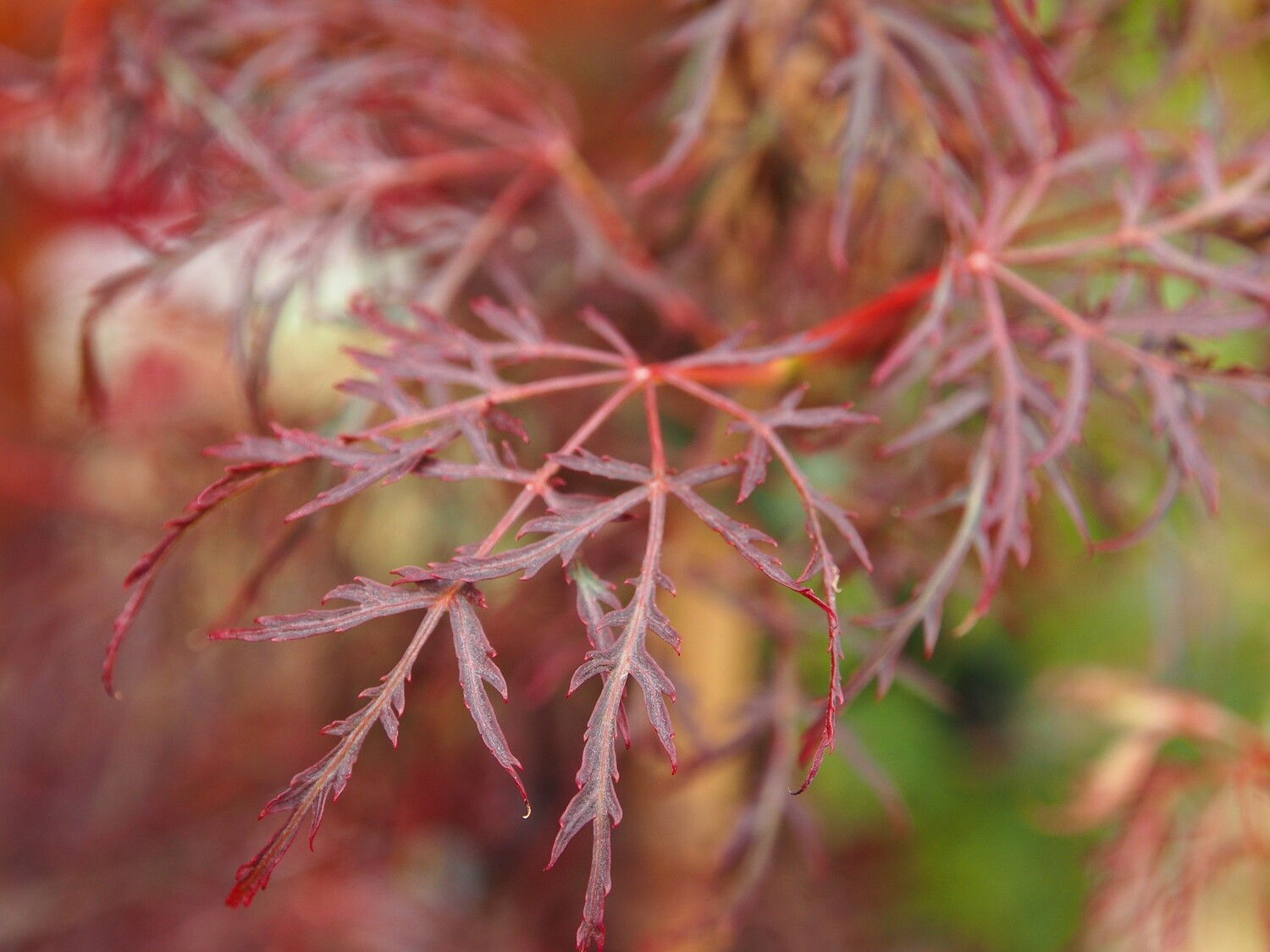 Acer palm Red Feathers