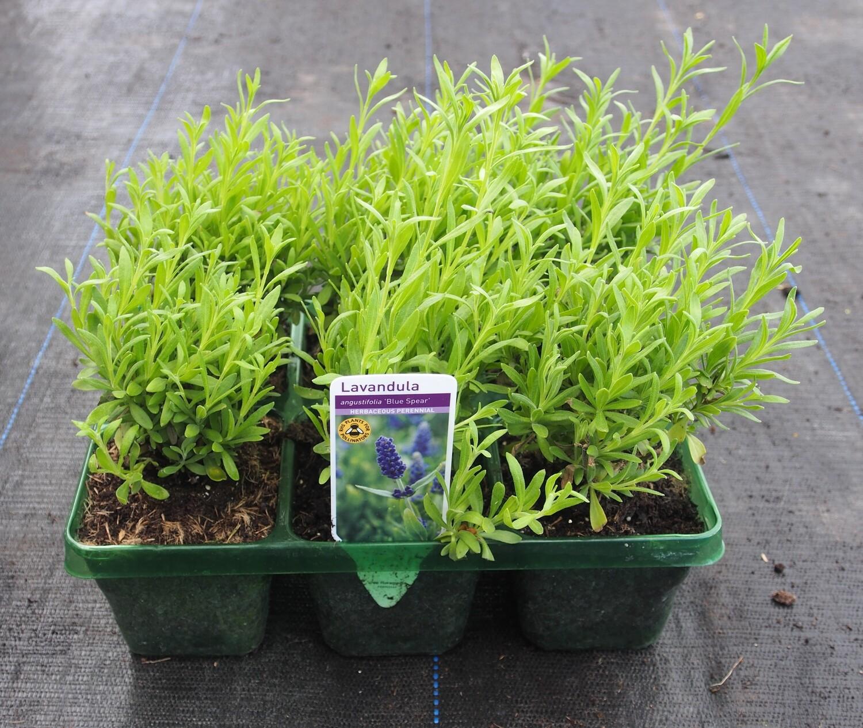 Lavender Blue Spear 6 pack