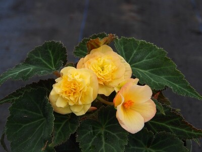 Begonia Buffy 2L