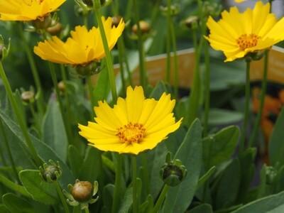 Coreopsis Presto Yellow 2L