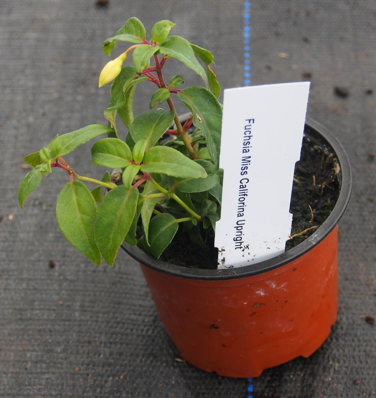 Fuchsia Miss California 9cm