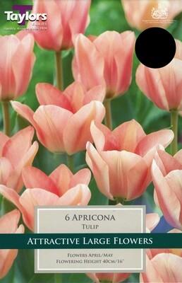 Tulip Apricona x6
