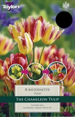 Tulip Antoinette x8