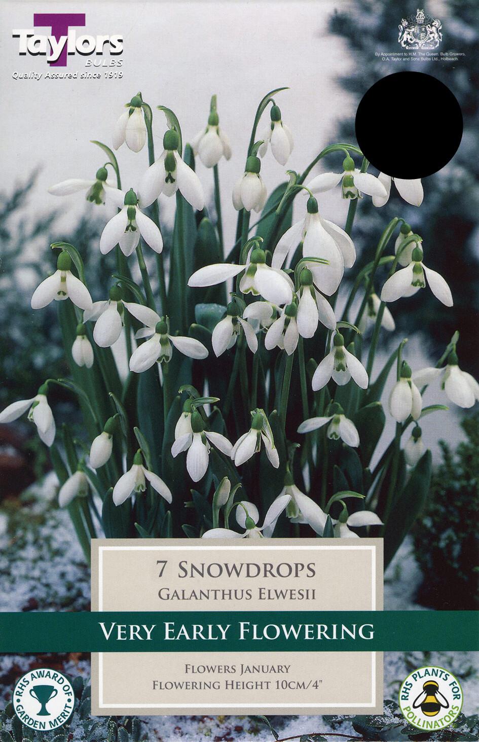 Galanthus Elwesii x7