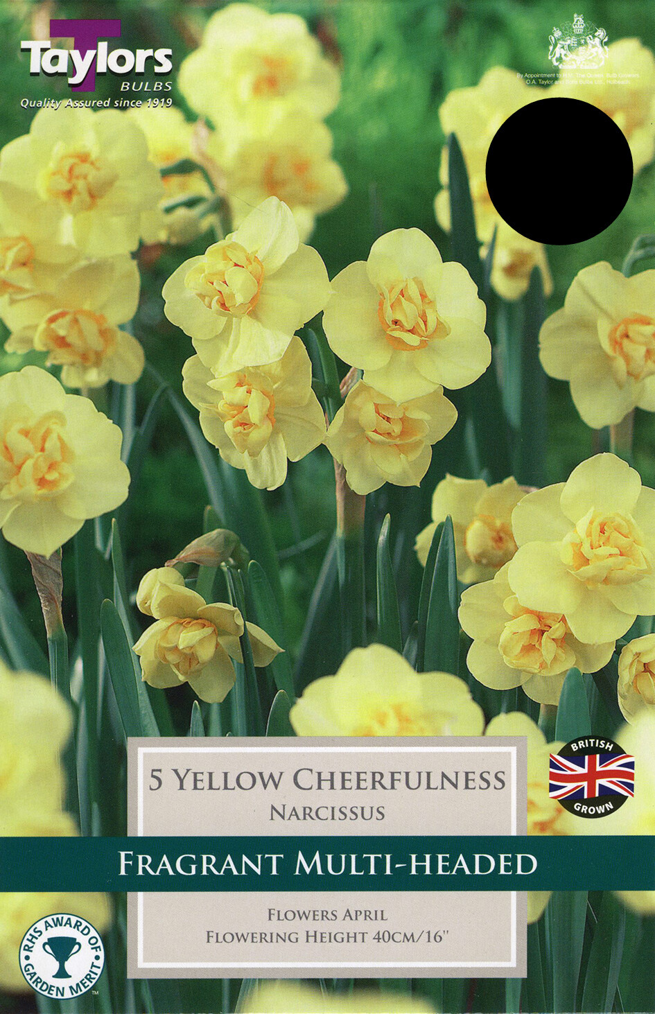 Daffodil Yellow Cheerfulness x5