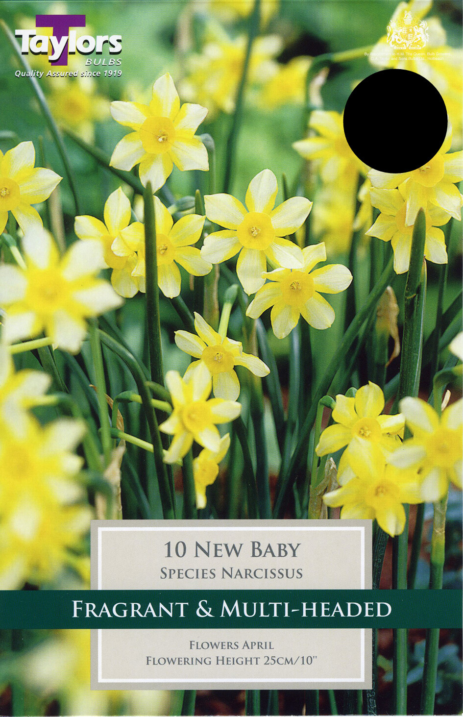Narcissus New Baby x10