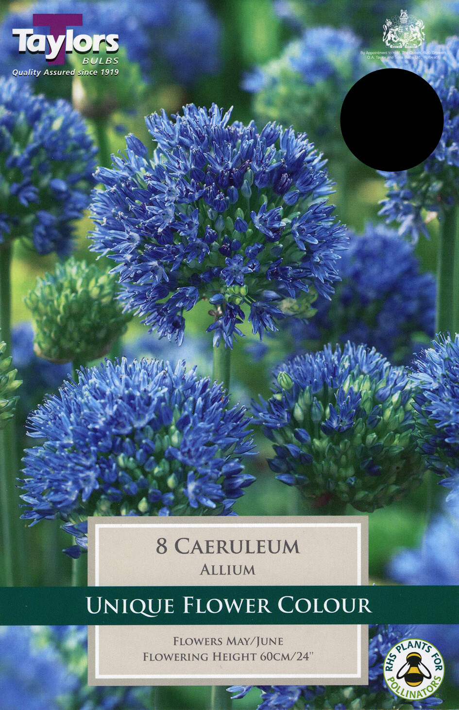 Allium Caeruleum x8
