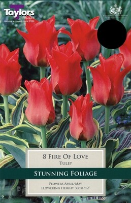 Tulip Fire Of Love x8